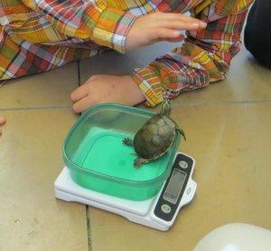 turtleweigh